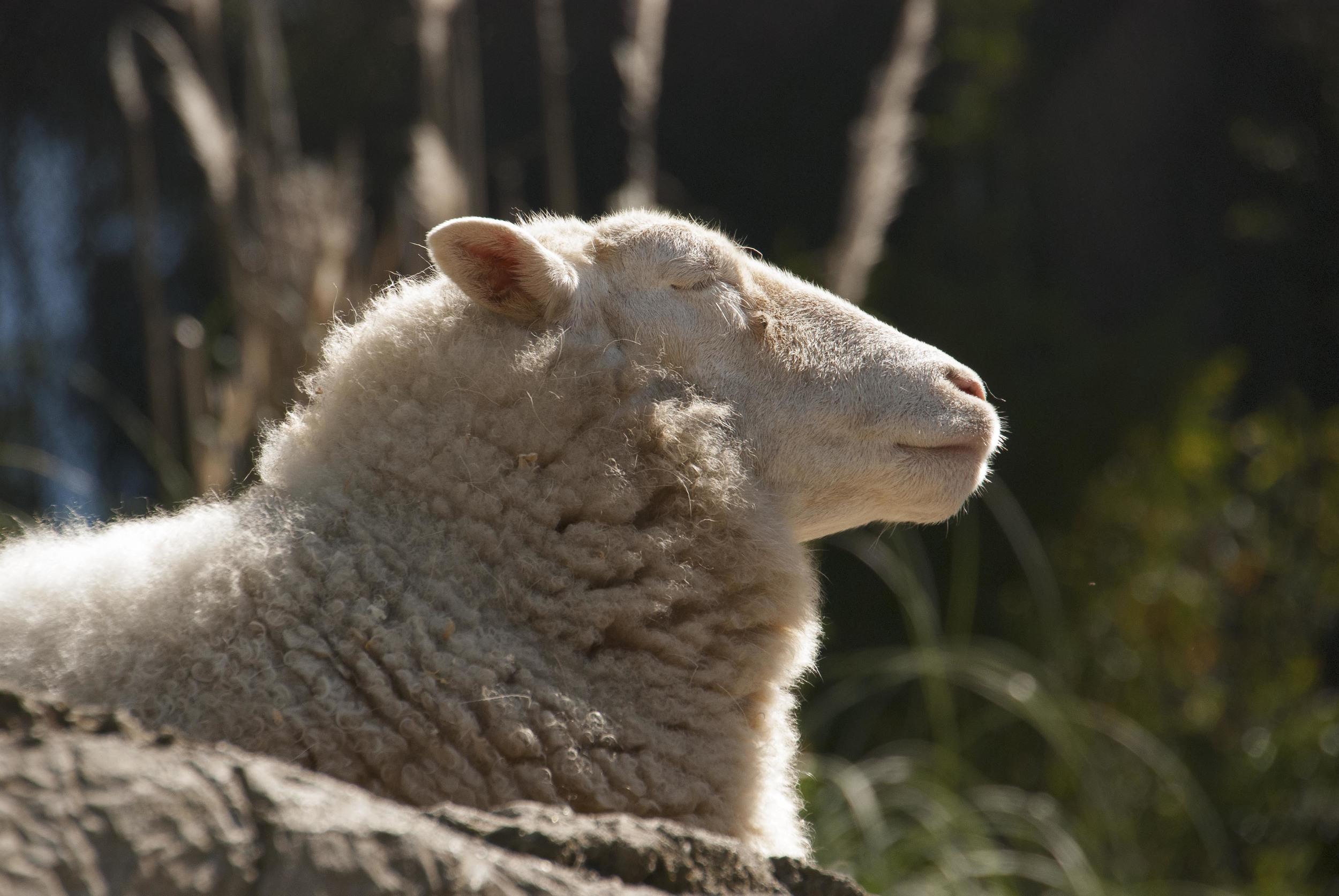 sheep looking noble.jpg