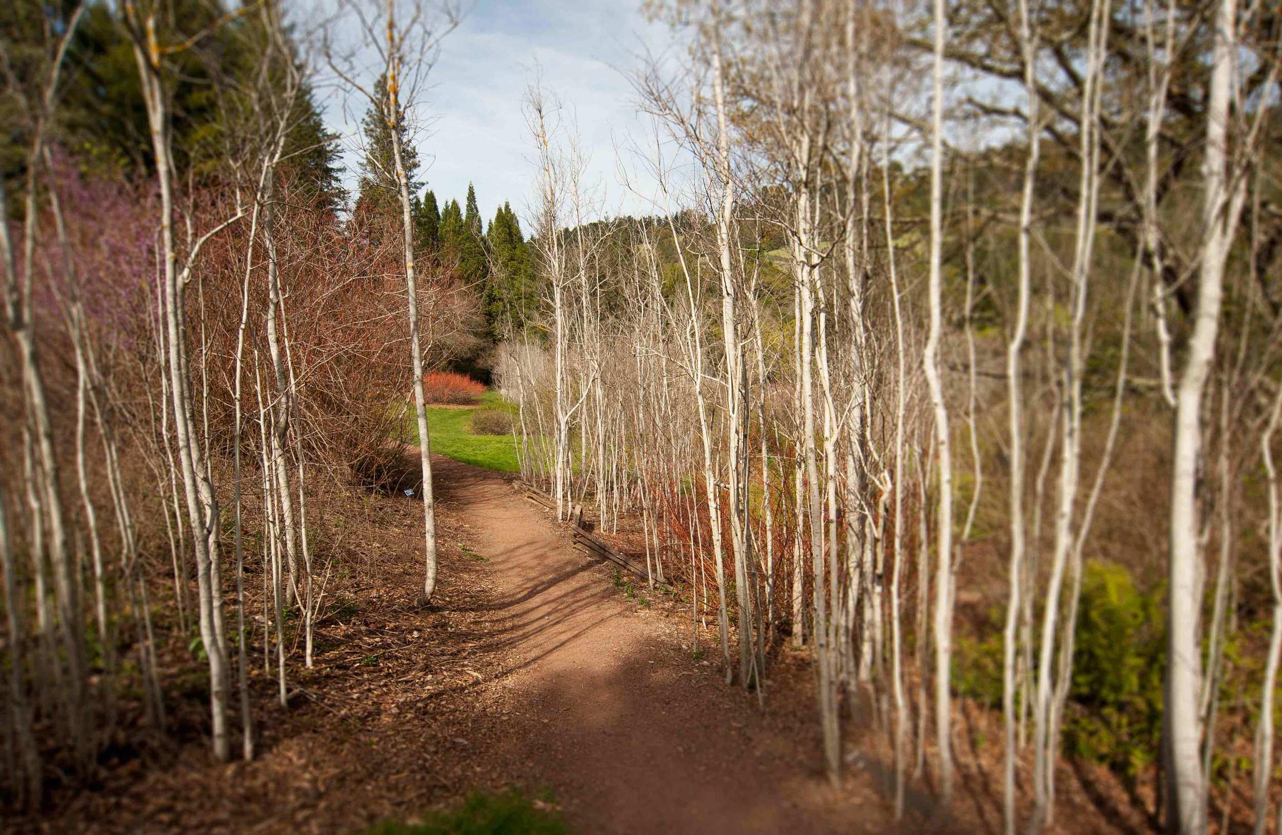 birches-with-blur.jpg