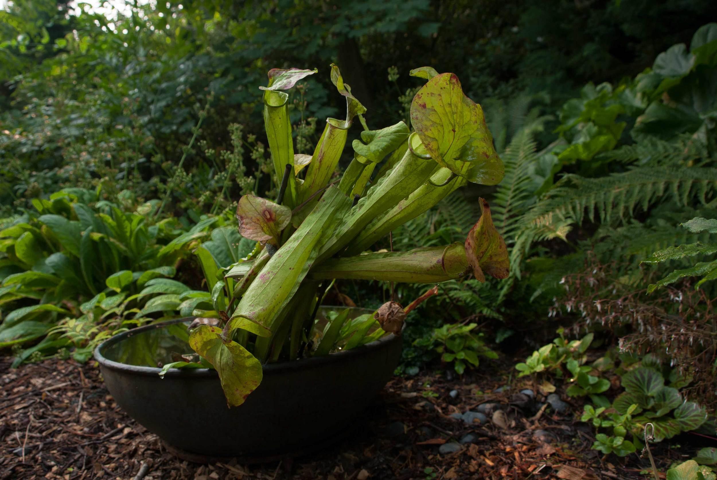 pitcher_plants.jpg
