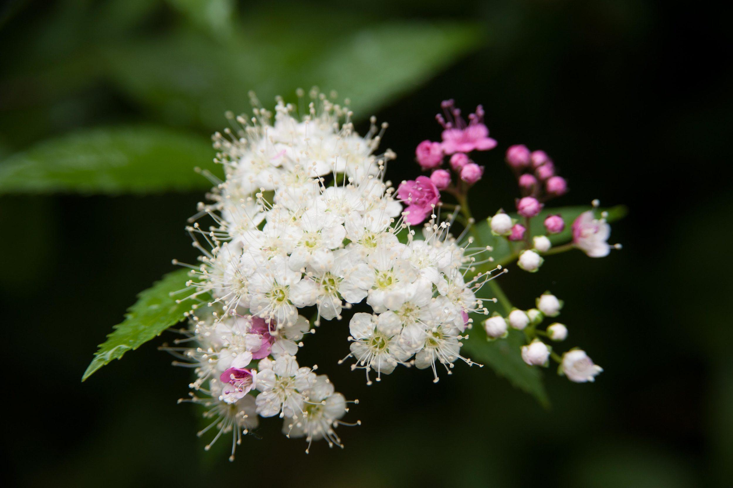 whiteflowers_pinkbuds.jpg