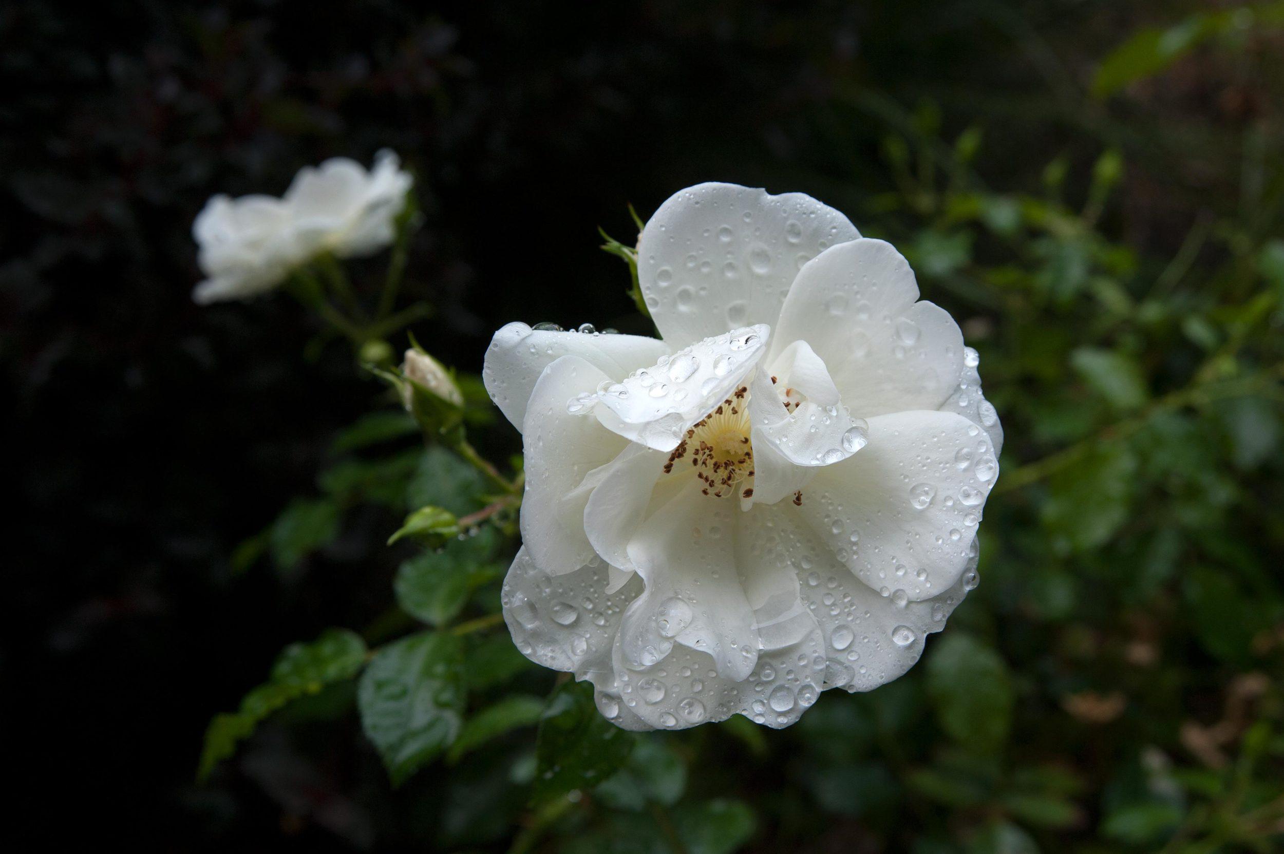 whiterose_waterdrops.jpg