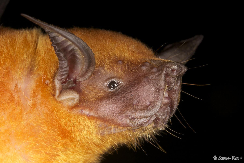 Noctilio leporinus