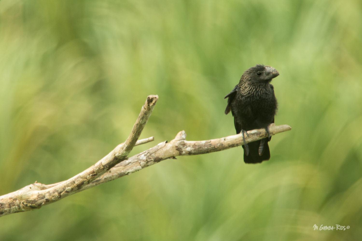 Smooth-billed_Ani_MGambaRIos.jpg