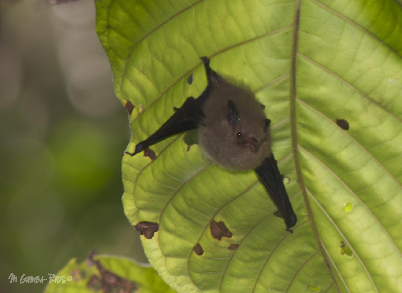 Shaggy bat (Centronycteris maximiliani), roost in foliage