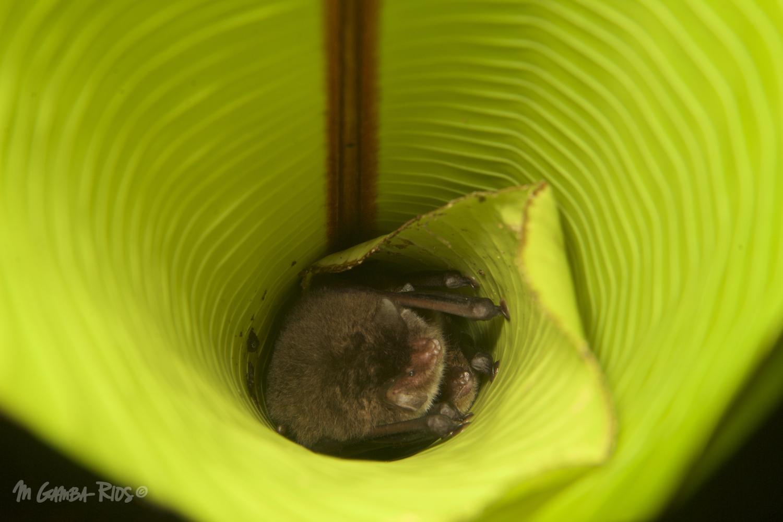 Spix's disk-winged bat (Thyroptera tricolor), roost infurled leaves.