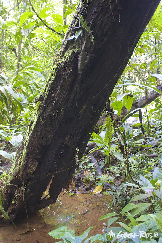 Chestnut sac-winged bat (Cormura brevirostris), roost under fallen trees.