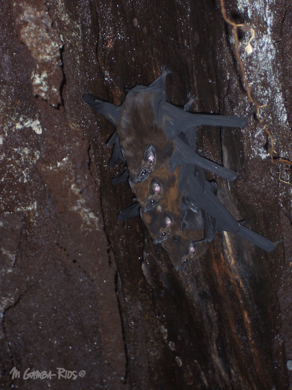 Chestnut sac-winged bat (Cormura brevirostris)