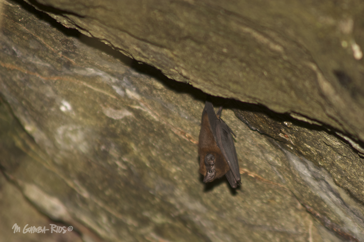 Greater dog-like bat (Peropteryx kappleri), roost in caves andboulder crevices