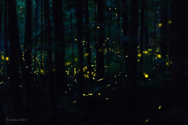 Last night I had the opportunity to presence the synchronization of fireflies (Photinus carolinus) at Smoky Mountains National Park. They are the only species in America whose individuals can synchronize their flashing light patterns. Their light patterns are part of their mating display. Each species of firefly has a characteristic flash pattern that helps its male and female individuals recognize each other.  #ig_nature #nature_perfection #naturephotography #rsa_nature #natureinside #NatureIsSpeaking #naturelover_gr #allnatureshots #scienceworld #sciencerules #research #fieldwork #researcher #Wildlife_Seekers #wildlife_perfection #splendid_animals #igscwildlife #eXclusive_animals #wildlifephotography #animal_captures #fireflies #firefly #smokymountains #greatsmokymountains #smokiesfriends #nationalpark #nationalparks #friendsofthesmokies