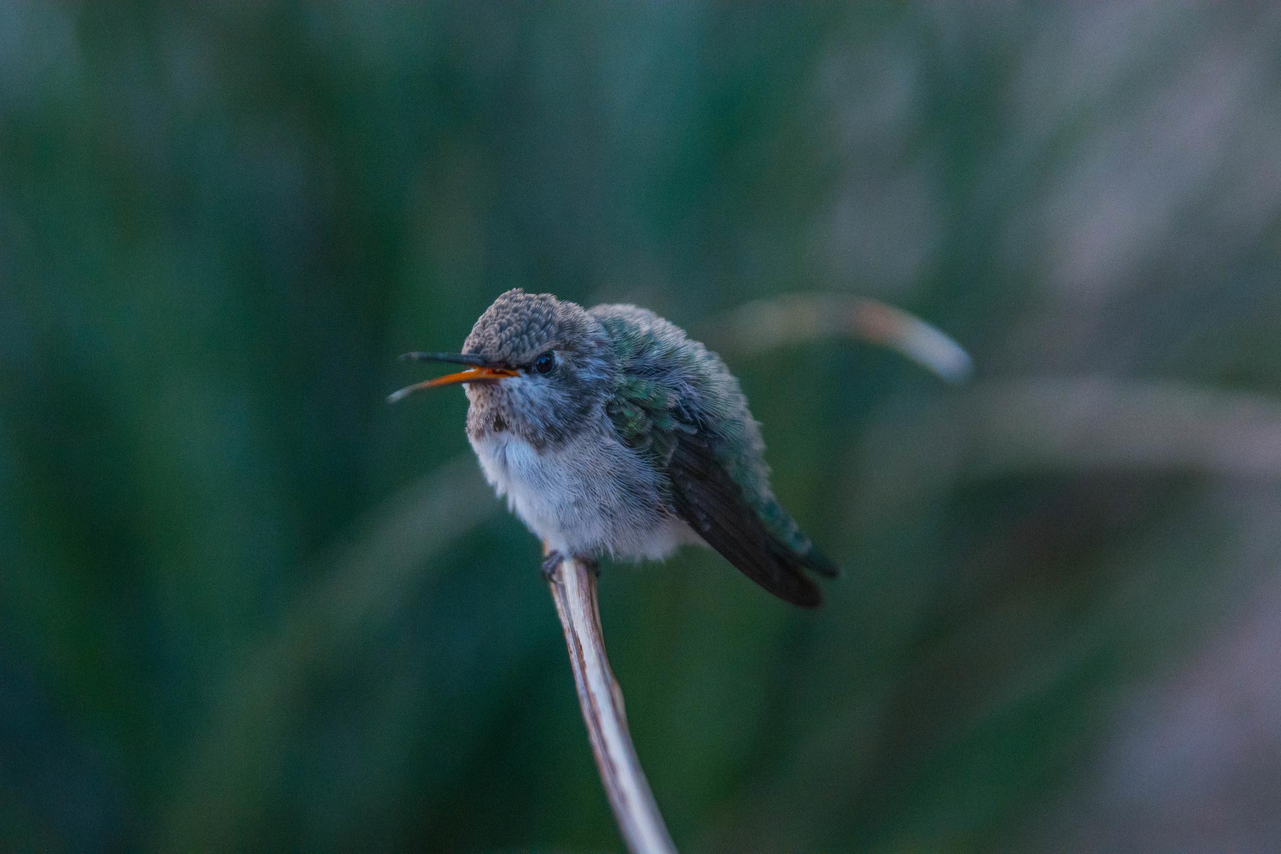04-2014_Hummingbird 2.jpg