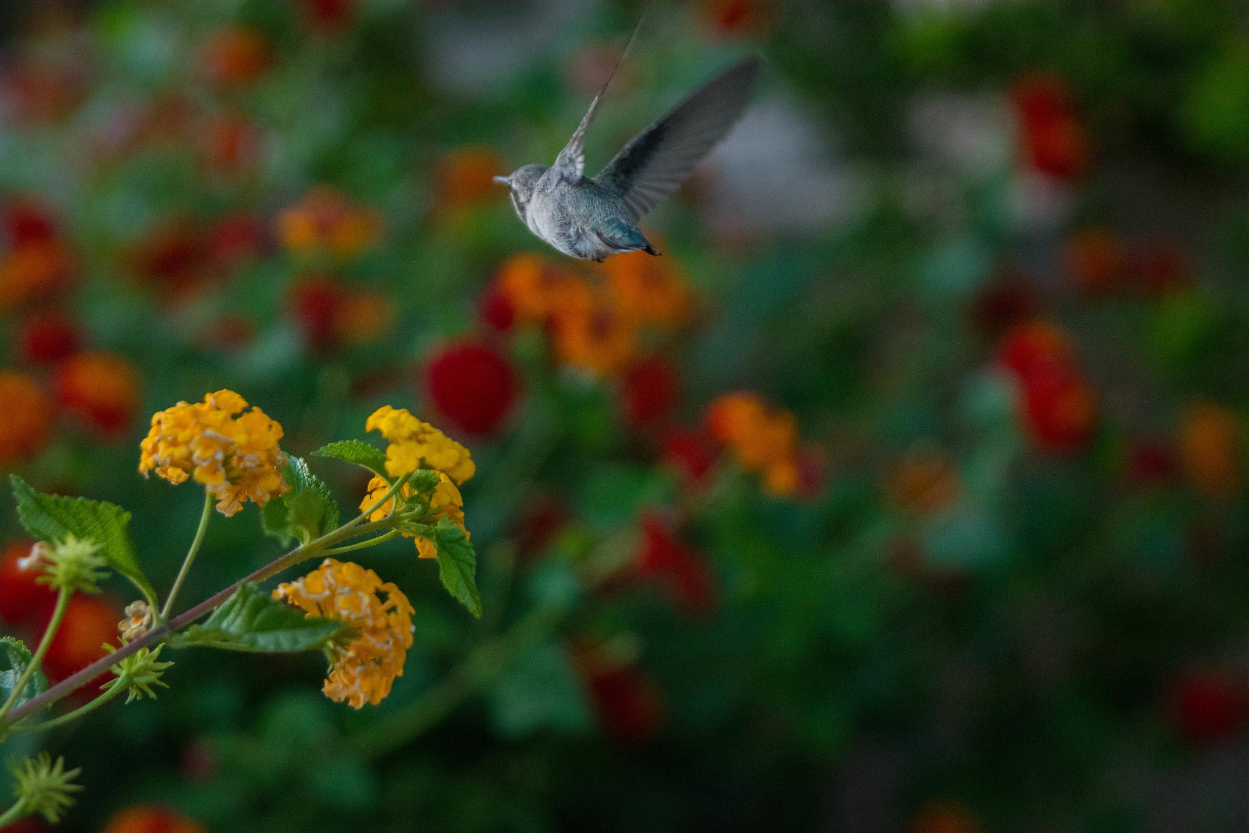 Humming Bird Flying Away