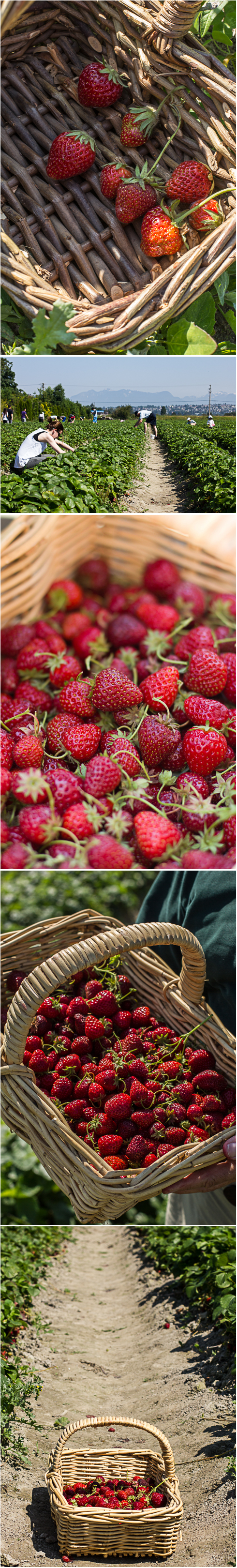Strawberry Picking. Photography ©2012 Helena McMurdo