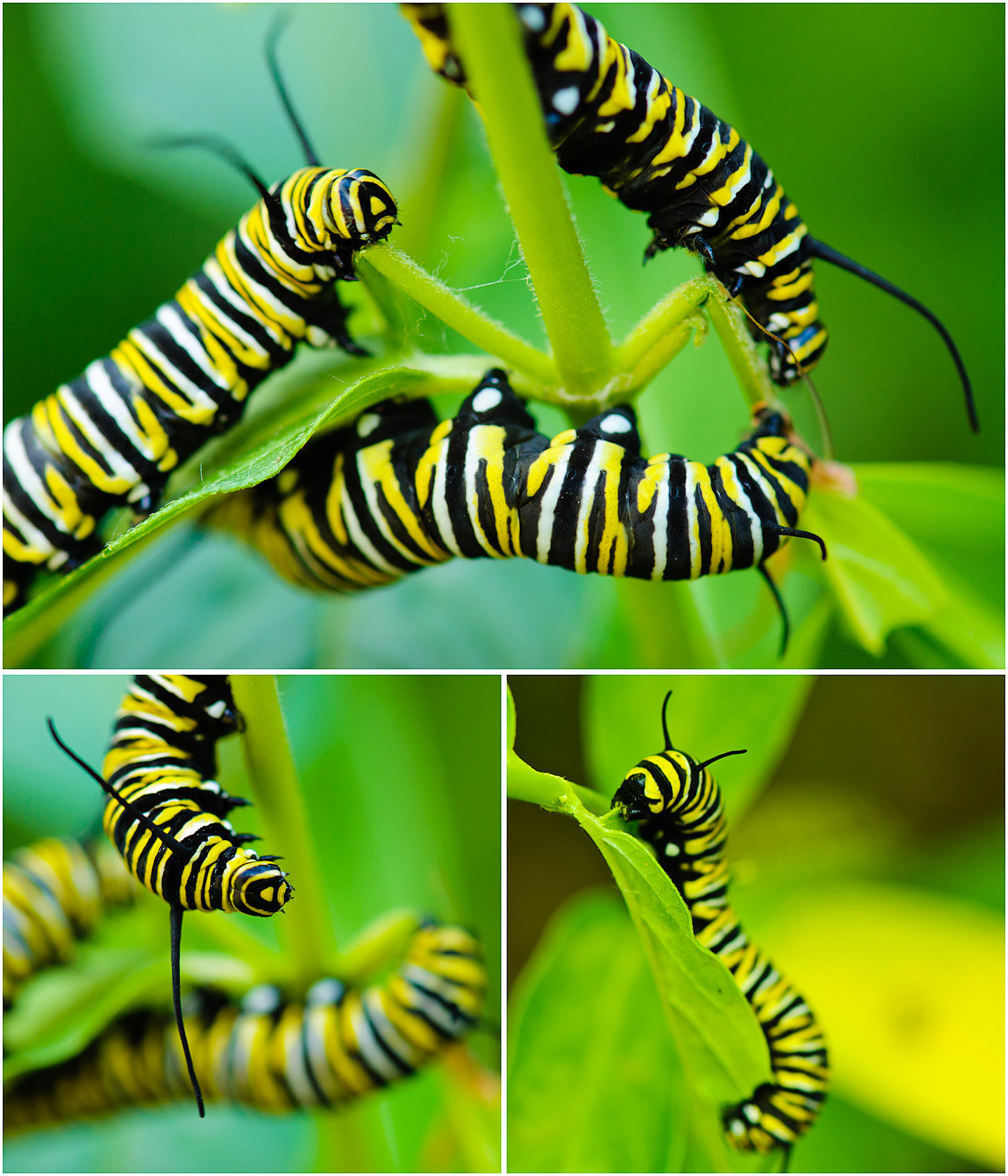 Please help save the Monarchs by planting milkweed! A story about Monarch butterflys at My Painted Door (.com)