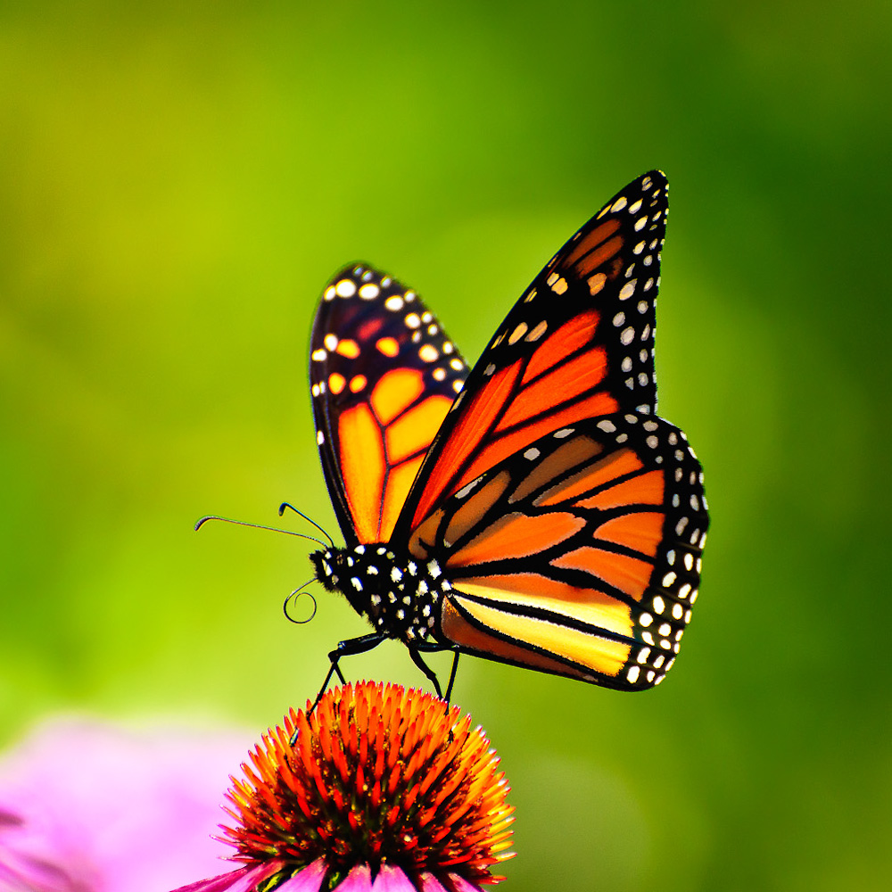 My story about Monarch butterflies