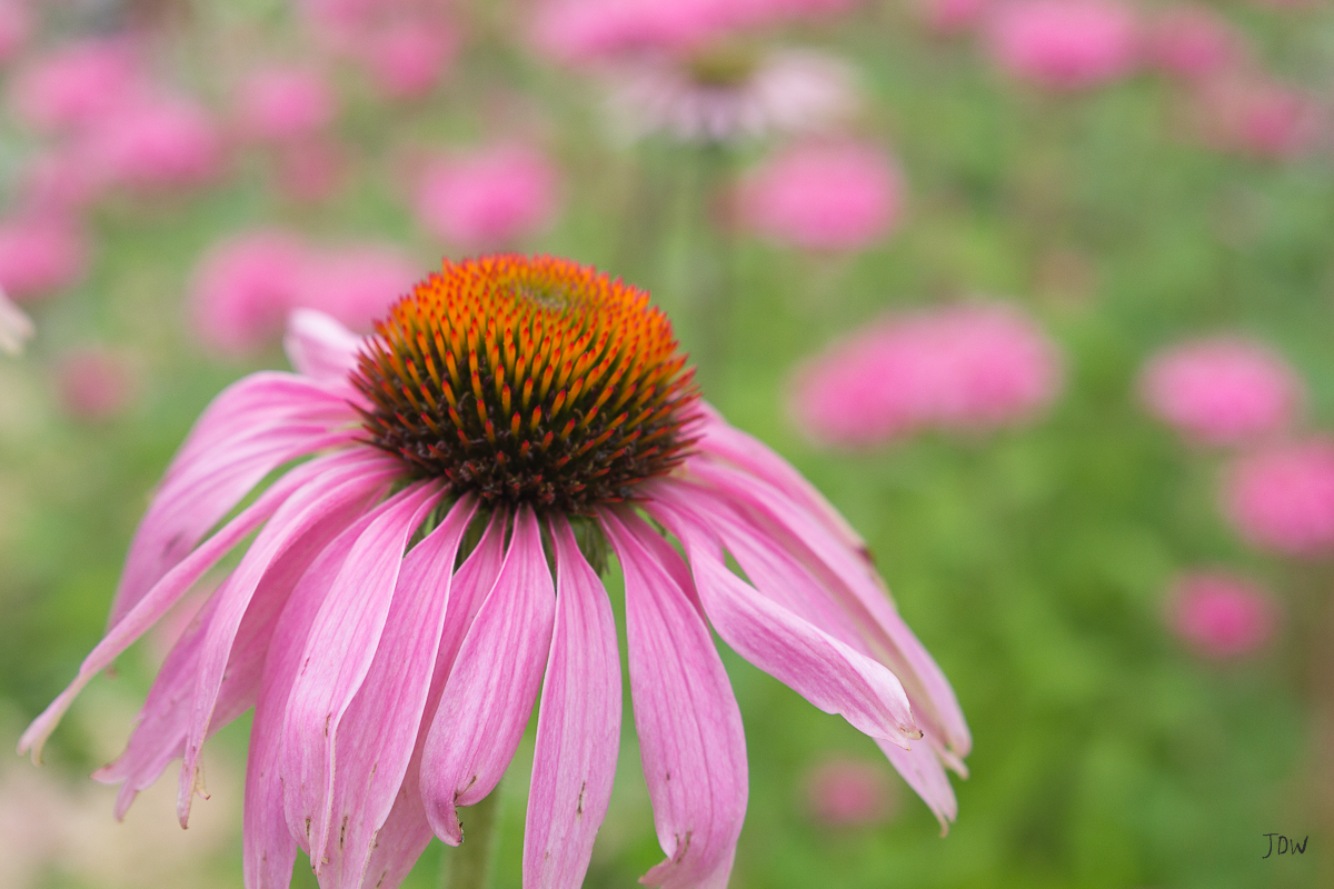 My Painted Door garden tour - Purple Coneflower. Photography by Jan Whybourne.