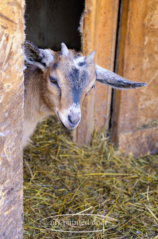 One of the many baby goats from Hurkett Hill Farm.
