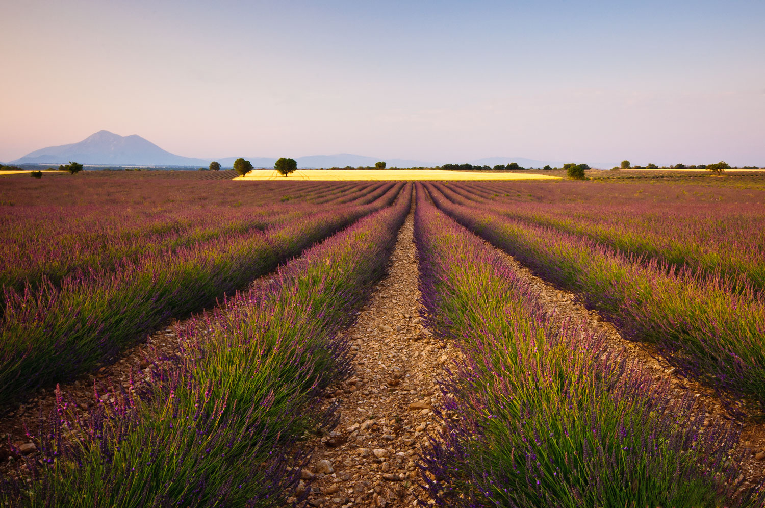 Lavender fields in the South of France.