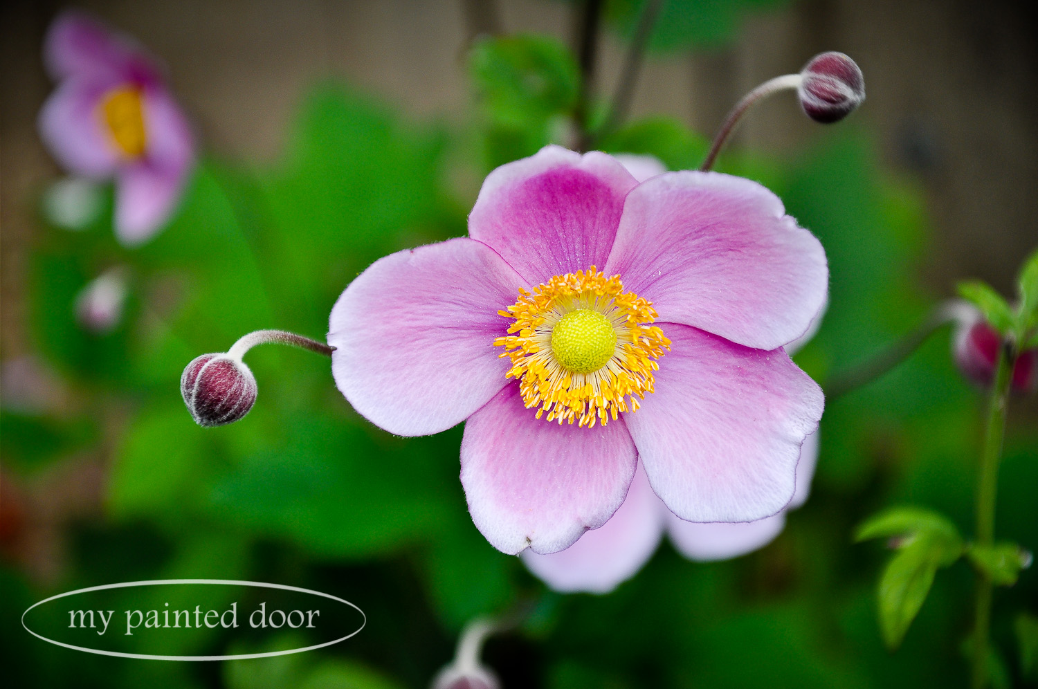 Pink Anemone in the Country Garden of Sue Sikorski, owner of My Painted Door.