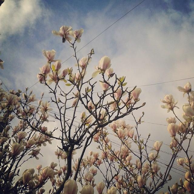 magnolias#.jpg
