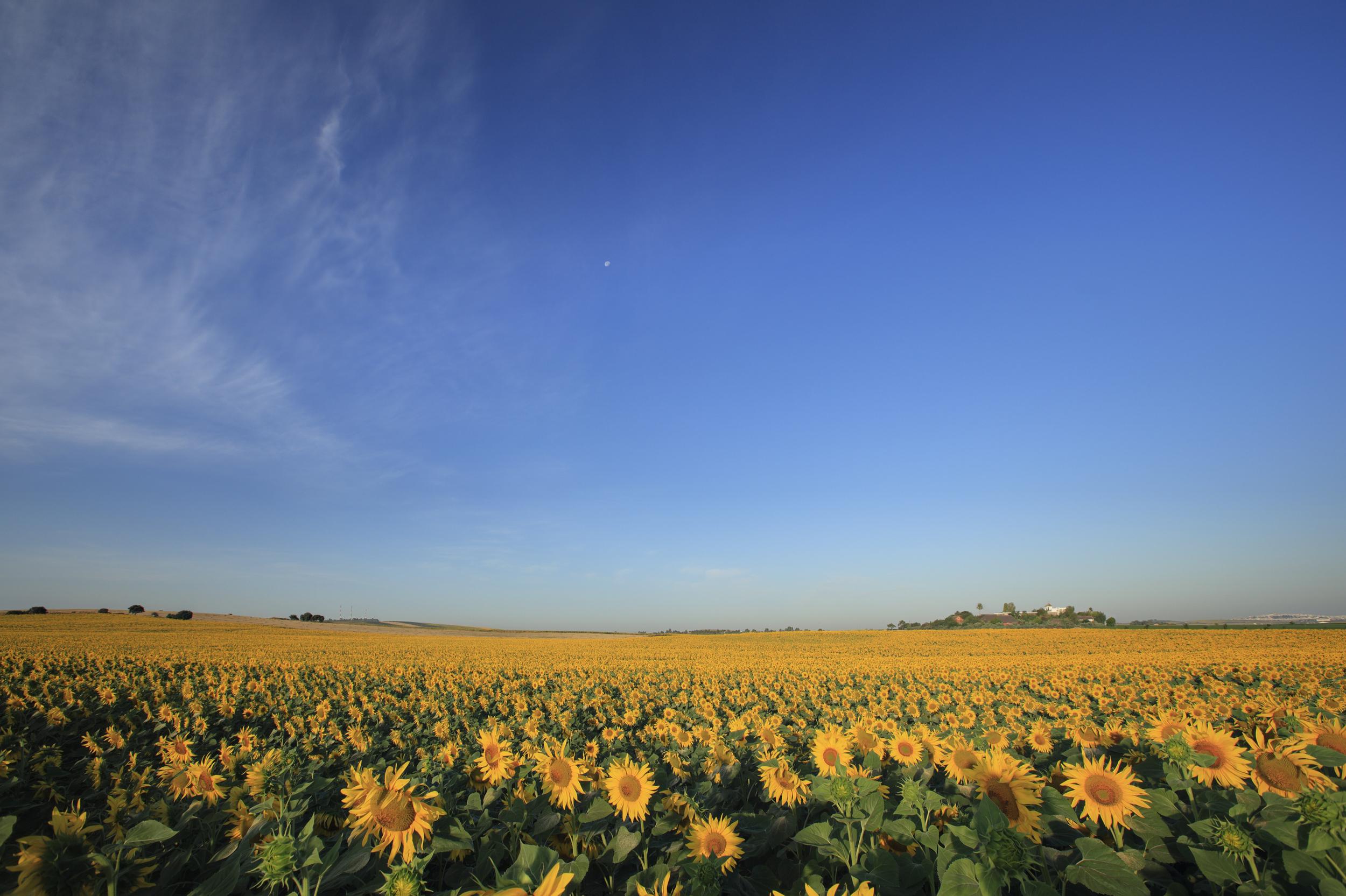 Sunflower field with HSR in distance.jpg