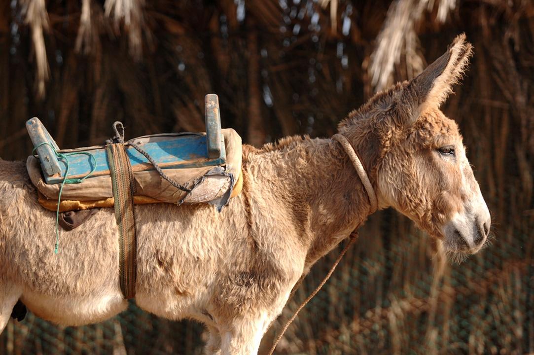 45donkey-asino-burro.jpg