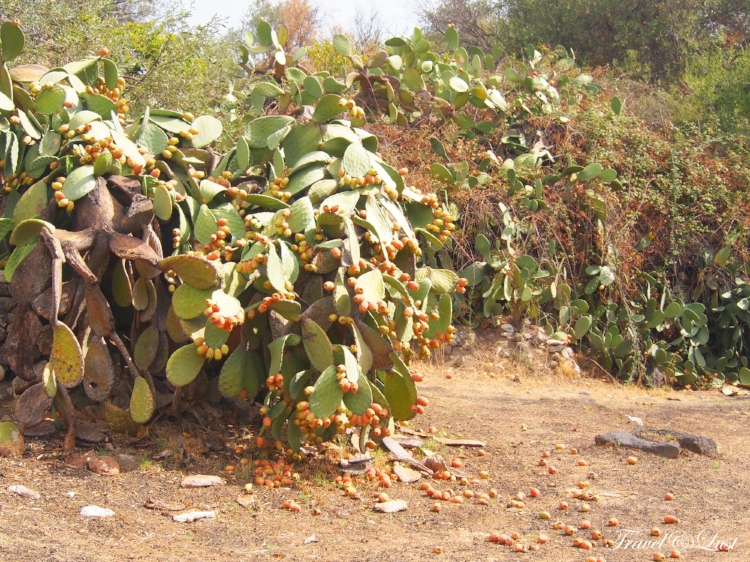 Prickly Pear Cactus, same you can find at Santorini, Greece . Giardini Naxos is the   site of the first Greek settlement in Sicily.