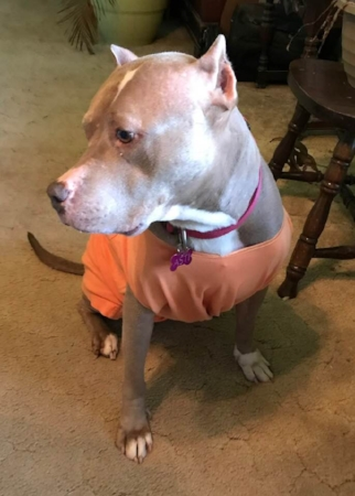 Asti is styling a shirt instead of a cone. She pops that cone off of her short little ears. I have to say she's being good leaving her stitches alone. Maybe this shirt will be ok.