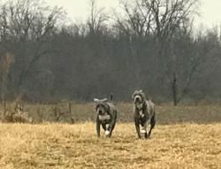 blues running on farm.jpg
