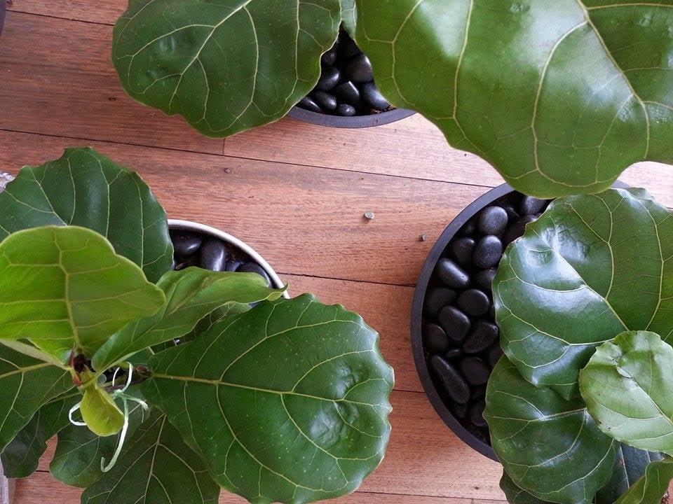 Ficus Lyrata Melbourne