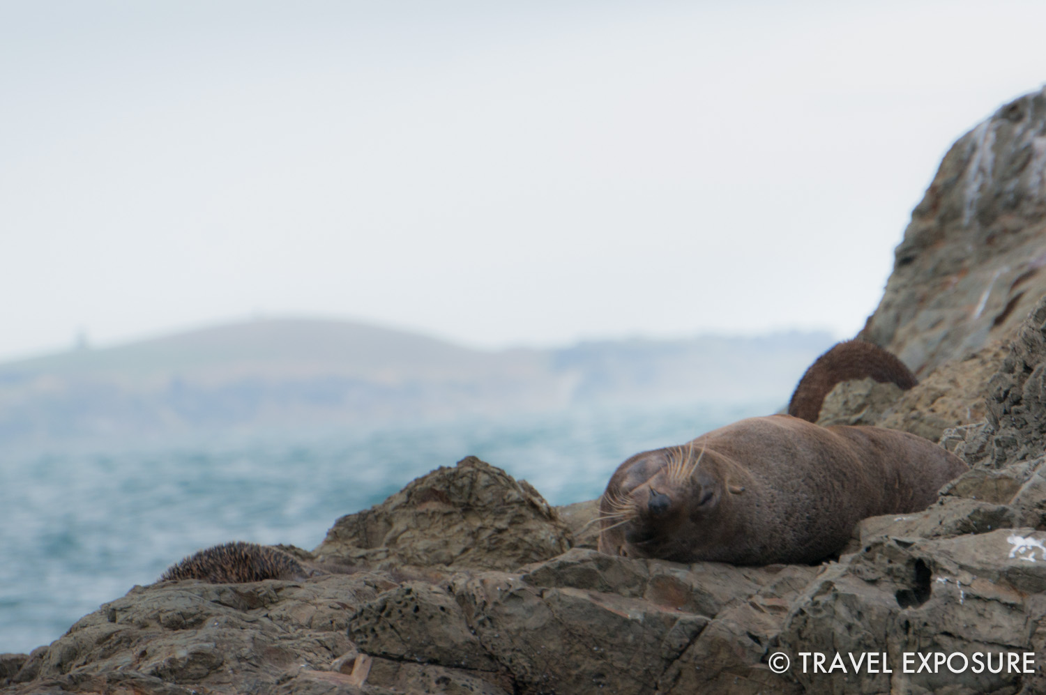 A fur seal rests on the rocks near Kaikoura.