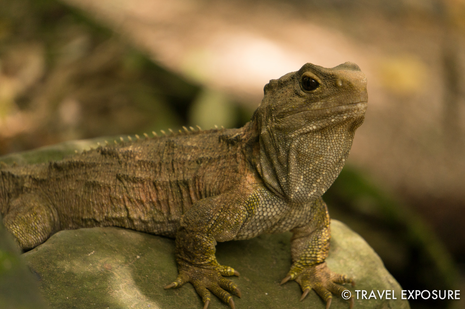 Tuatara are the only surviving members of an order of reptiles that flourished 200 million years ago.