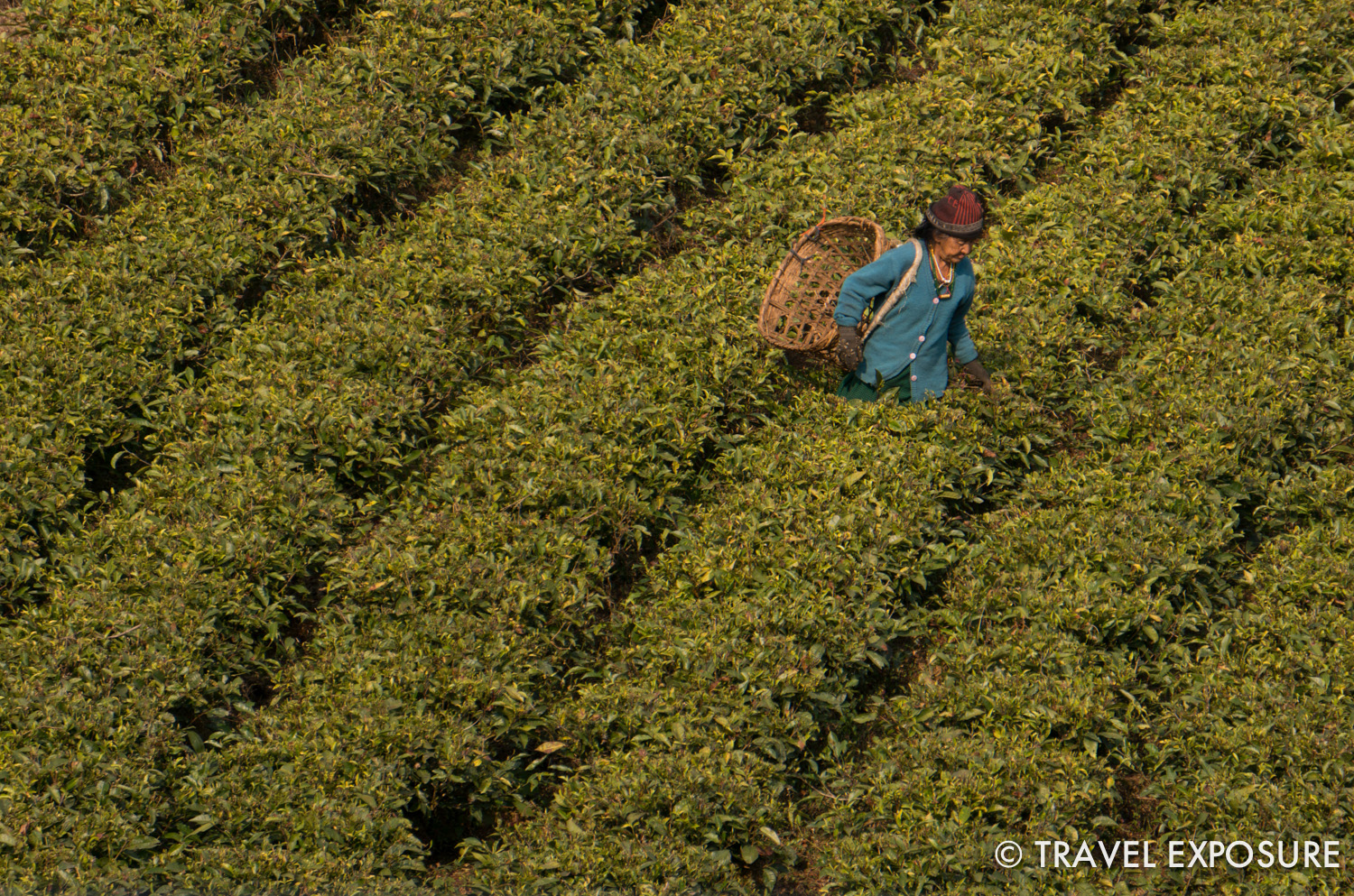 WEEK OF MARCH 10  A woman tends to the tea bushes at Temi Tea Garden in Sikkim, India - considered one of the best in the world.