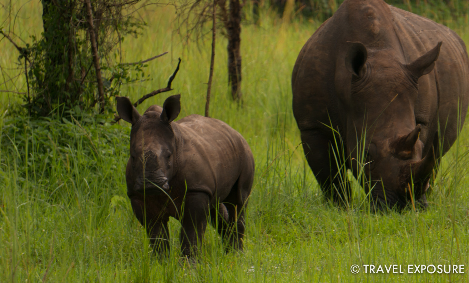 WEEK OF JUNE 23 A baby rhino grazes near its mother at the Ziwa Rhino Sanctuary near Nakitoma, Uganda.
