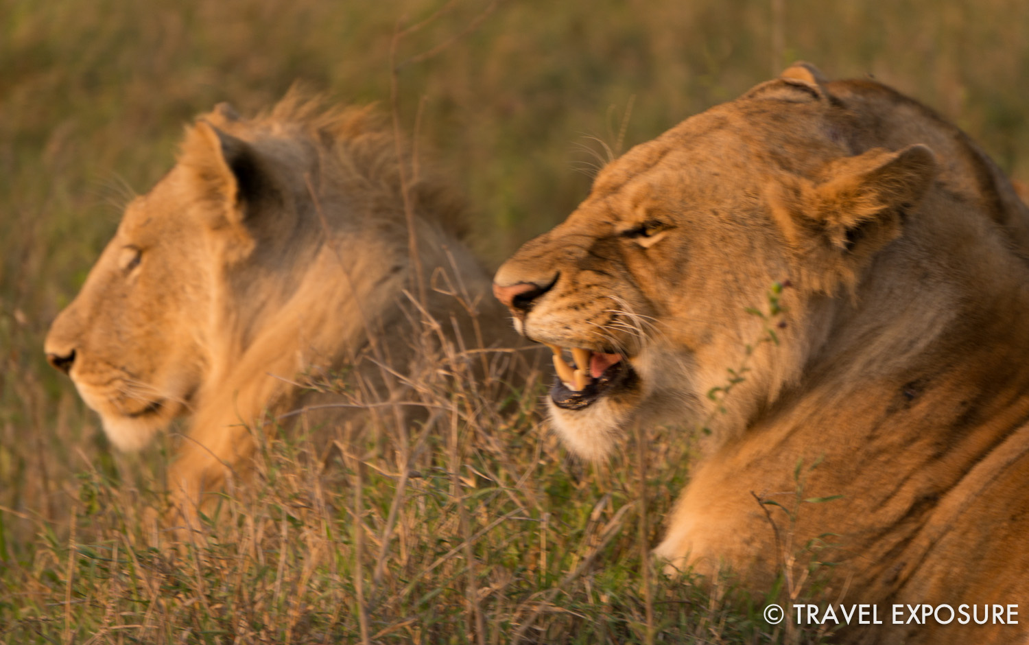 WEEK OF JULY 14 Two lions rest in the savanna in the Serengeti National Park in Tanzania.