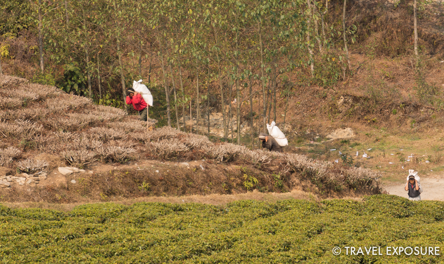 Workers at the Temi Tea Garden in Sikkim