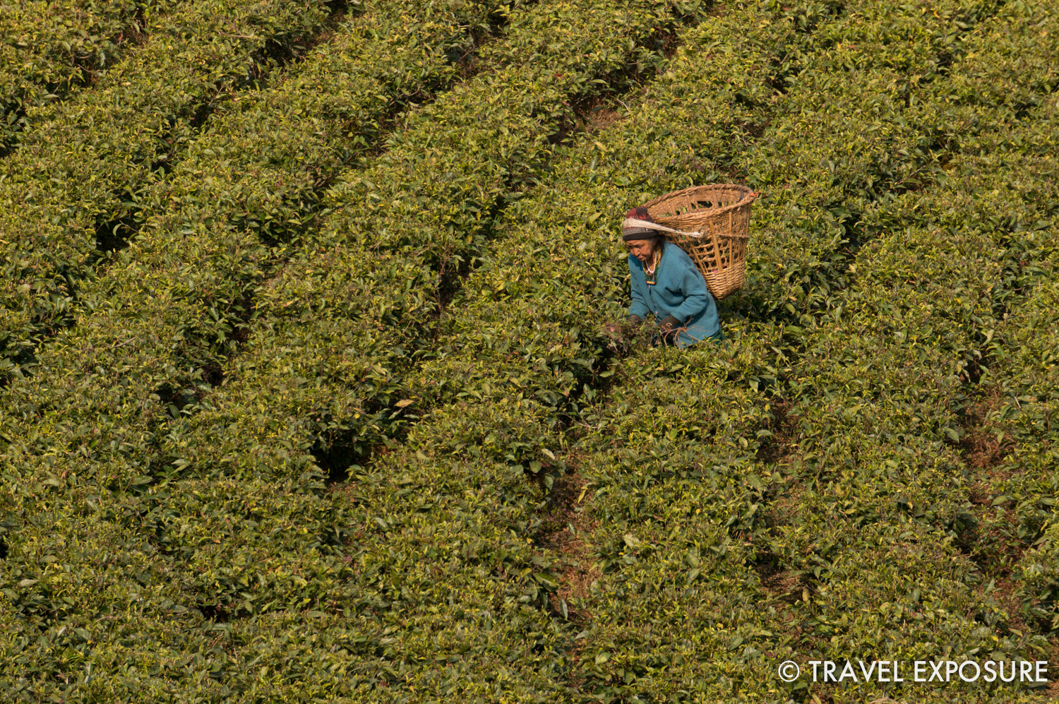 A woman weeding at the Temi Tea Garden in Sikkim