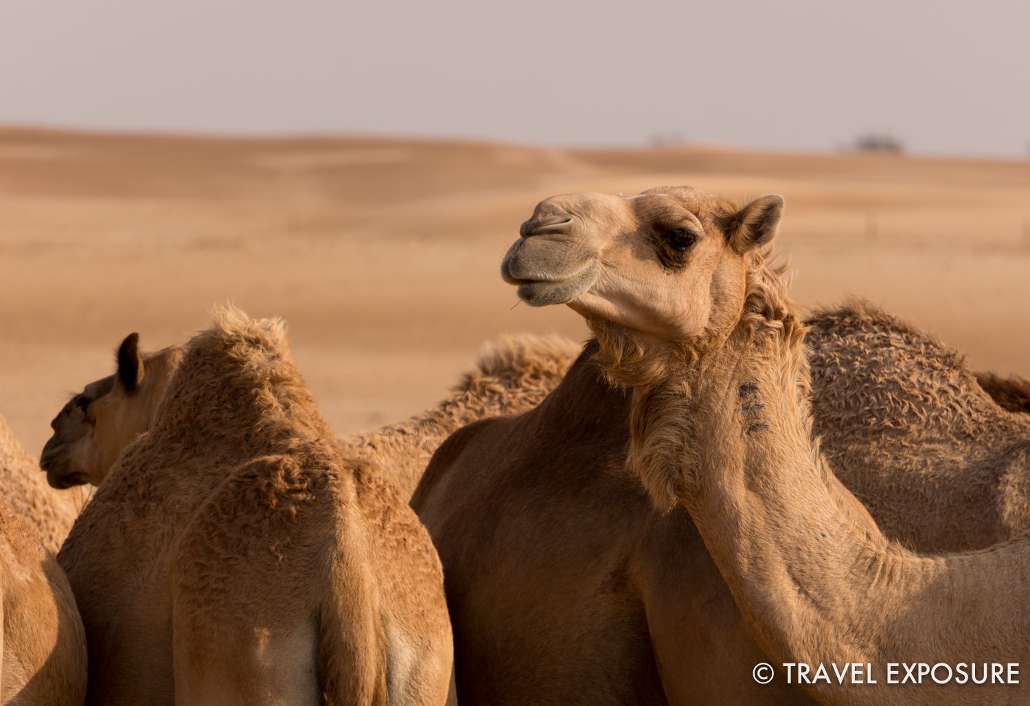 Camels in the desert near Abu Dhabi.