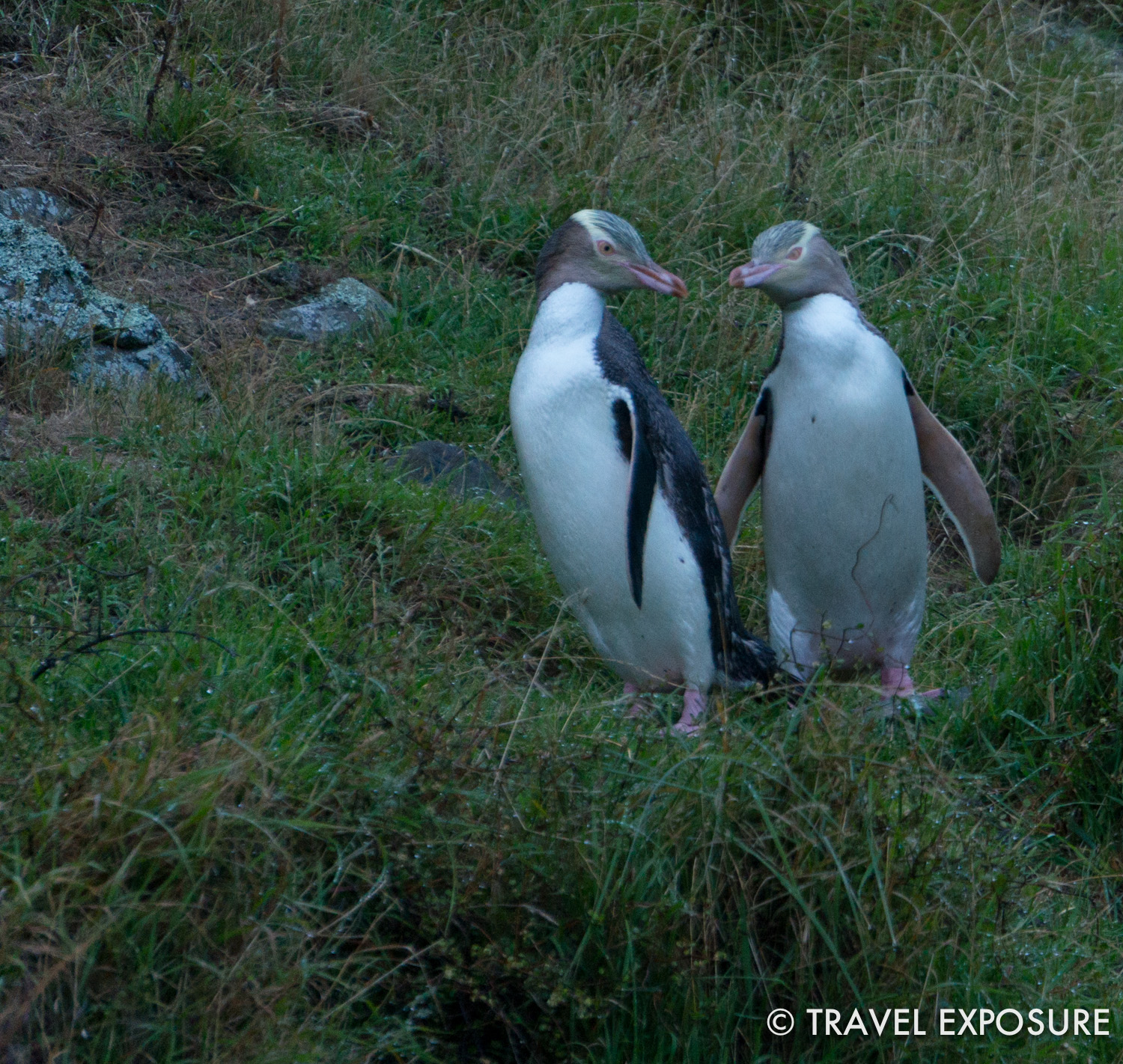 Penguins in New Zealand