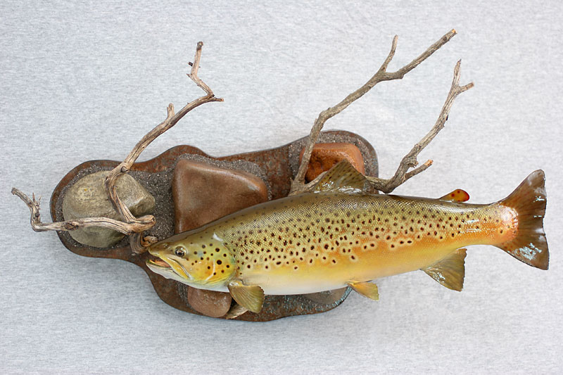 Brown trout with habitat