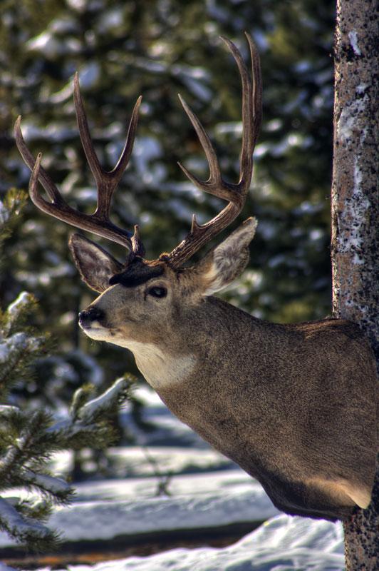 Semi sneak mule deer