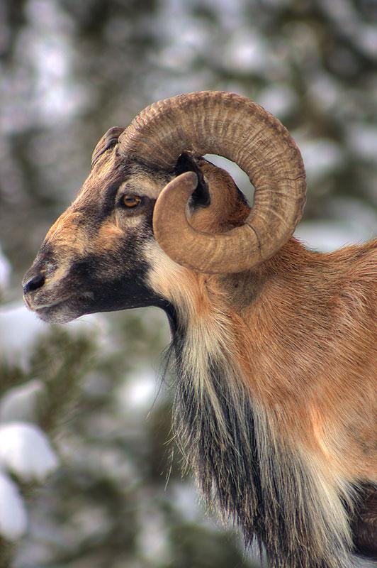 Mouflan sheep