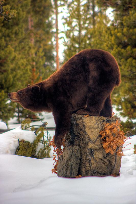 Lifesize black bear on custom rock