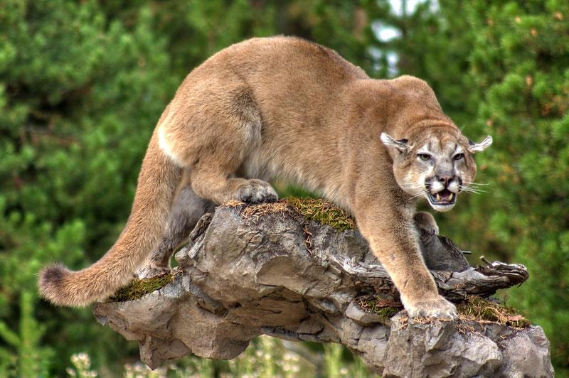 Lifesize Stalking Mountain Lion