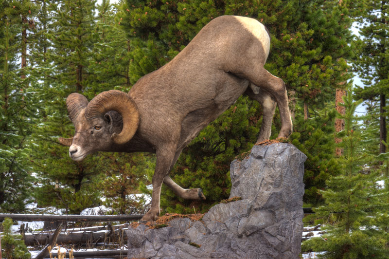 Rocky Mountain Bighorn on custom rock
