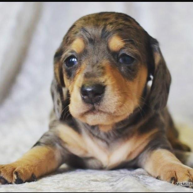 It's a boy! We pick him up May 12th. Now we need a name. Suggestions? 😍🍾🐶 #dauchshundpuppy . . . #dogsofinstagram #happiness #weinerdog #dachshundsofinstagram #cutenessoverload #puppylove #puppiesofinstagram #dachshund