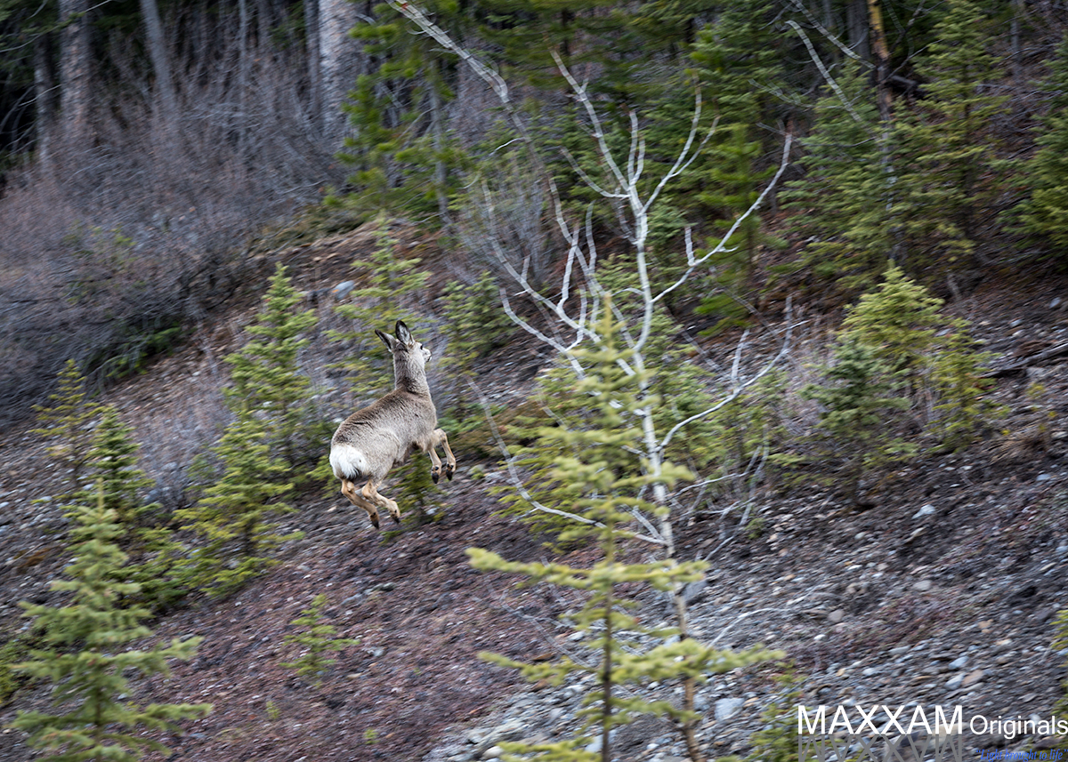 A deer bounds effortlessly up the side of a mountain as I accidentally get his attention with the sound of the click of my shutter.