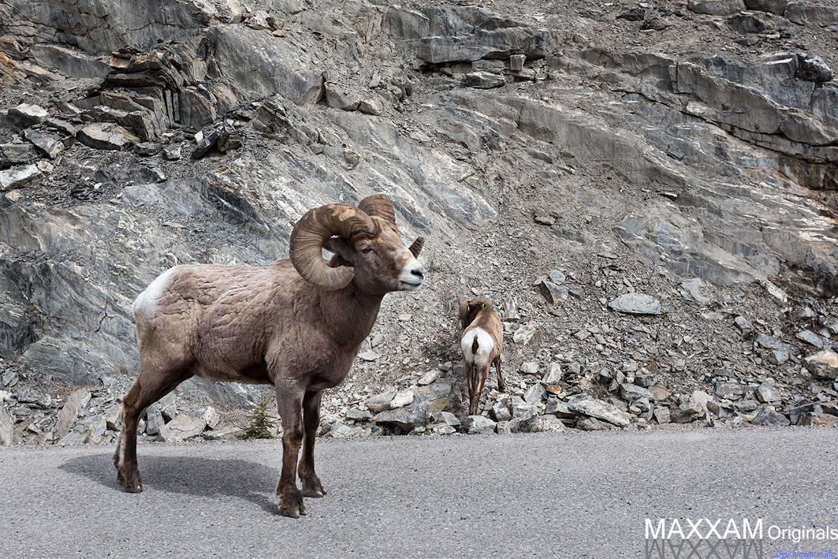 Two bighorn sheep lazily wander the side of the road, deciding how to spend their morning.