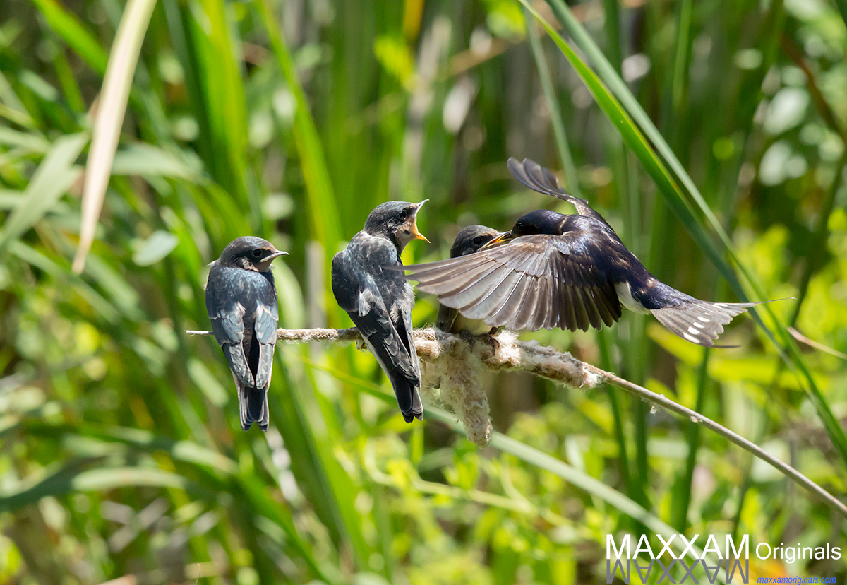 Barn Swallows of Point Pelee, Ontario