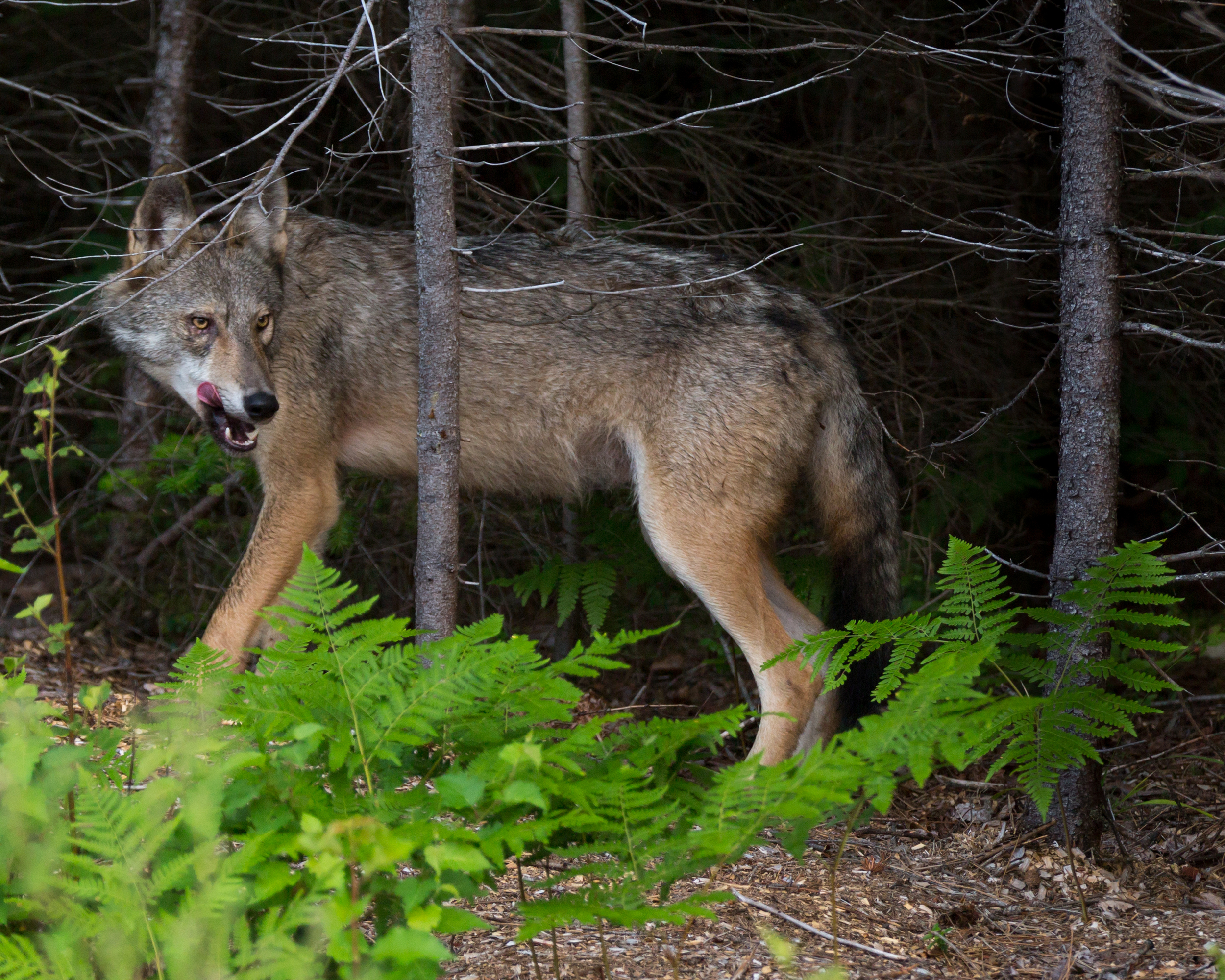 A Coywolf of Algonquin Park
