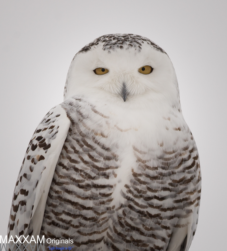 A snowy owl quietly looks for food somewhere out in the snow.